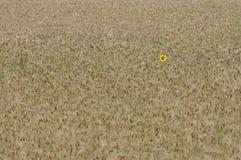 Singolo girasole giallo nel campo di frumento dorato Fotografia Stock