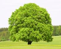 Singolo grande vecchio albero di faggio fotografia stock
