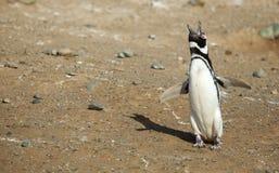 Singolo gridare del pinguino di Magellanic Fotografia Stock