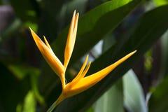 Singolo Heliconia giallo Immagini Stock