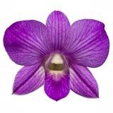 Singolo isolato viola dell'orchidea Immagini Stock
