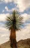 Singolo Joshua Tree Fotografie Stock