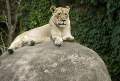 Singolo leone femminile Fotografia Stock Libera da Diritti