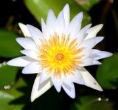 Singolo loto bianco fotografia stock libera da diritti