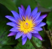 Singolo loto in Tailandia fotografia stock libera da diritti