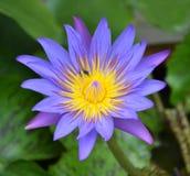 Singolo loto viola fotografia stock libera da diritti
