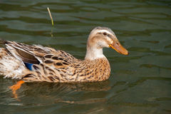 Singolo Mallard femminile Duck Swimming sul lago verde, Azzorre Fotografie Stock