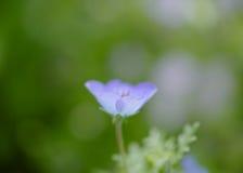 Singolo nemophila Fotografia Stock