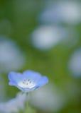Singolo nemophila Fotografie Stock Libere da Diritti
