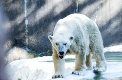 Singolo orso polare in zoo Fotografia Stock