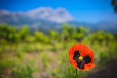 Singolo papavero nel campo Fotografia Stock
