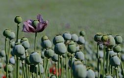 Singolo papavero porpora del fiore sul campo del papavero Immagini Stock