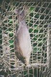 Singolo pesce tinto Immagini Stock Libere da Diritti
