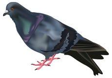 Singolo piccione isolato su bianco Immagini Stock Libere da Diritti