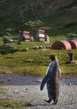 Singolo pinguino di re che cammina sul percorso in Grytviken, Georgia del Sud Immagine Stock