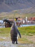 Singolo pinguino di re che cammina sul percorso in Grytviken, Georgia del Sud Immagini Stock