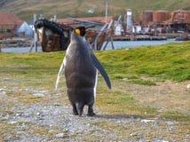Singolo pinguino di re che cammina sul percorso in Grytviken, Georgia del Sud Fotografia Stock Libera da Diritti