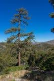Singolo pino in foresta fotografia stock libera da diritti