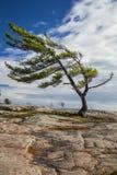 Singolo pino sulle rocce Fotografia Stock