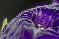 Singolo primo piano porpora del fiore della petunia immagini stock