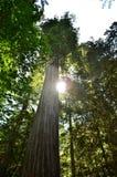 Singolo Redwood con il sole che alza attraverso. Fotografie Stock