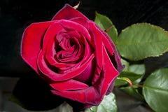 Singolo rosso-cupo è aumentato Fotografia Stock Libera da Diritti