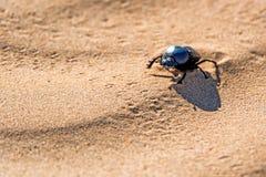 Singolo sacer dello Scarabaeus dello scarabeo sacro su terra Immagine Stock Libera da Diritti