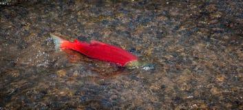 Singolo salmone rosso immagine stock