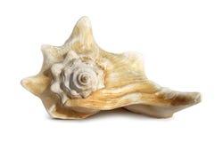 Singolo seashell isolato fotografie stock
