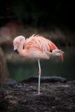 Singolo sonno rosa del fenicottero Fotografia Stock Libera da Diritti