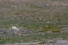 Singolo stambecco affamato in Rocky Meadow Fotografie Stock Libere da Diritti