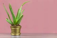 Singolo succulente dell'aloe in pianta in vaso metallica dell'oro sulla parte posteriore di rosa Immagine Stock