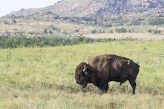 Singolo toro immagini stock libere da diritti