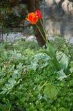 Singolo tulipano arancione. Fotografia Stock Libera da Diritti
