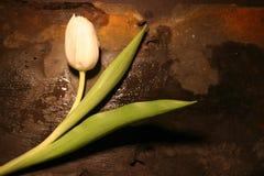 Singolo tulipano bianco fotografie stock