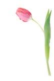 Singolo tulipano dentellare Immagine Stock