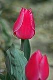 Singolo tulipano dentellare Fotografia Stock