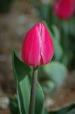 Singolo tulipano dentellare Immagini Stock