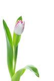 Singolo tulipano dentellare e bianco di Playgirl di trionfo Fotografie Stock Libere da Diritti