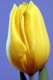 Singolo tulipano giallo Immagini Stock Libere da Diritti