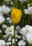 Singolo tulipano giallo Fotografie Stock Libere da Diritti