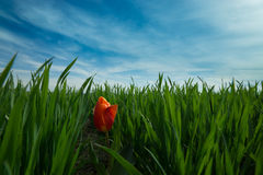Singolo tulipano rosso del fiore in un campo di erba verde Fotografie Stock Libere da Diritti