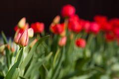 Singolo tulipano rosso non aperto Fotografia Stock Libera da Diritti