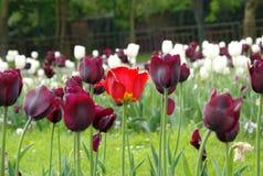 Singolo tulipano rosso tra altri tulipani immagine stock