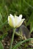 Singolo tulipano sui precedenti scuri fotografia stock