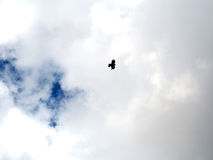 Singolo uccello che pilota il cielo nuvoloso Fotografia Stock Libera da Diritti