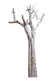 Singolo vecchio ed albero morto isolato su fondo bianco con la fine Immagine Stock Libera da Diritti