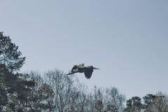 Singolo volo dell'airone fotografia stock