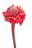 Singolo zenzero tropicale della torcia del fiore isolato Immagine Stock