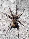 Singoriensis Lycosa Конец-вверх тарантулов паука Фото макроса стоковые изображения